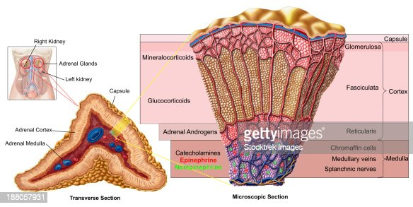 Anatomy Of Adrenal Gland Cross Section Stock Illustration Getty Images