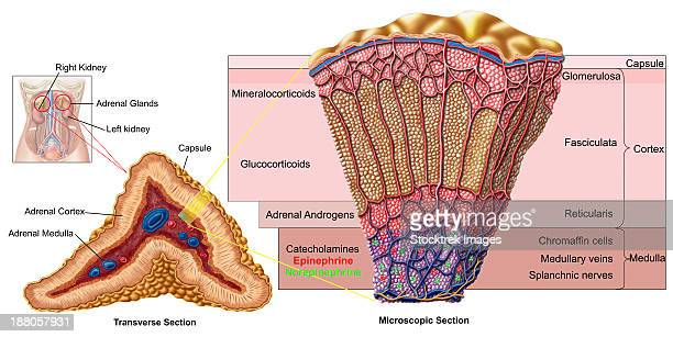 Adrenal Cortex Stock Illustrations And Cartoons Getty Images