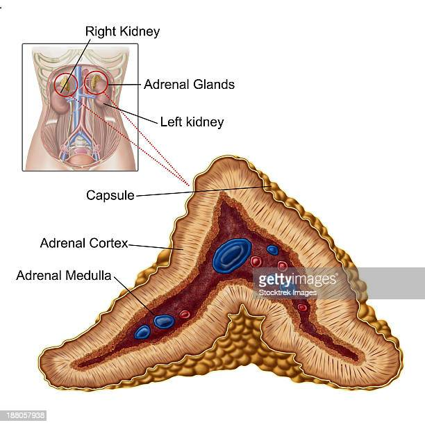 Adrenal Gland: Suprarenal Gland Stock Illustrations And Cartoons