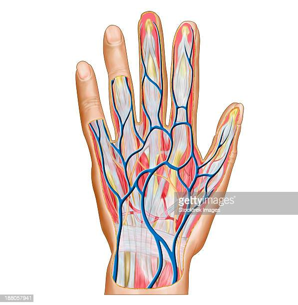 anatomy of back of human hand. - physiology stock illustrations