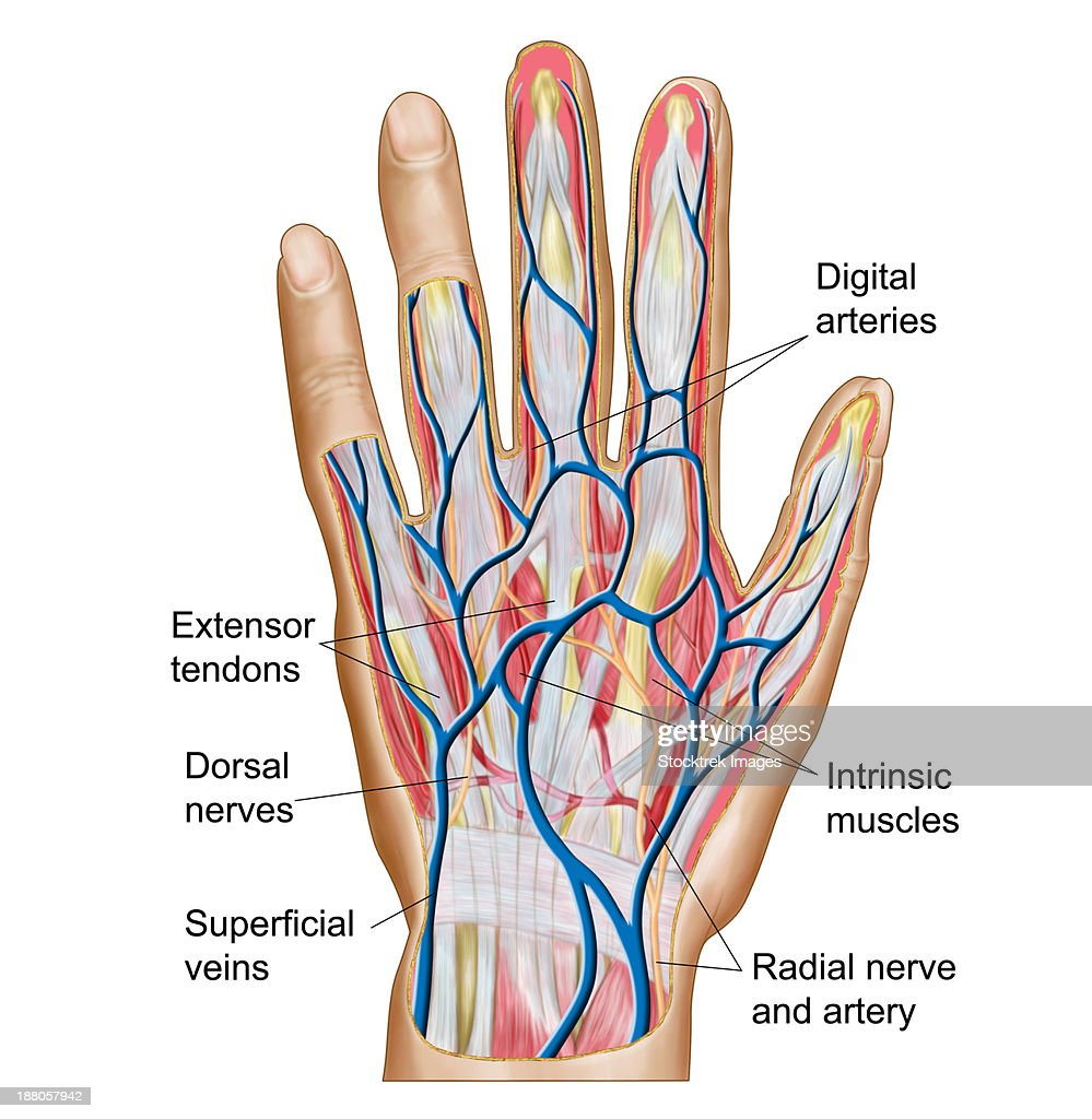 Anatomy Of Back Of Human Hand Stock Illustration Getty Images