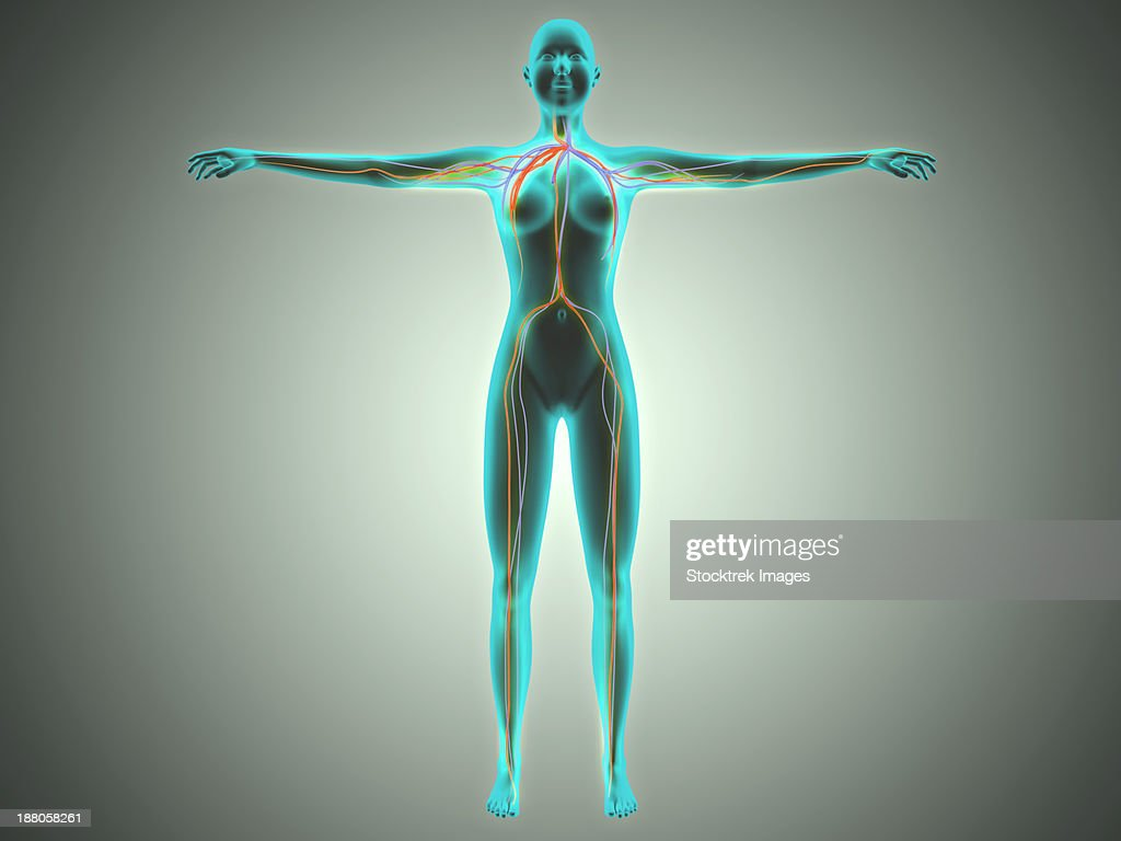 Anatomy Of Female Body With Arteries And Veins Stock Illustration ...