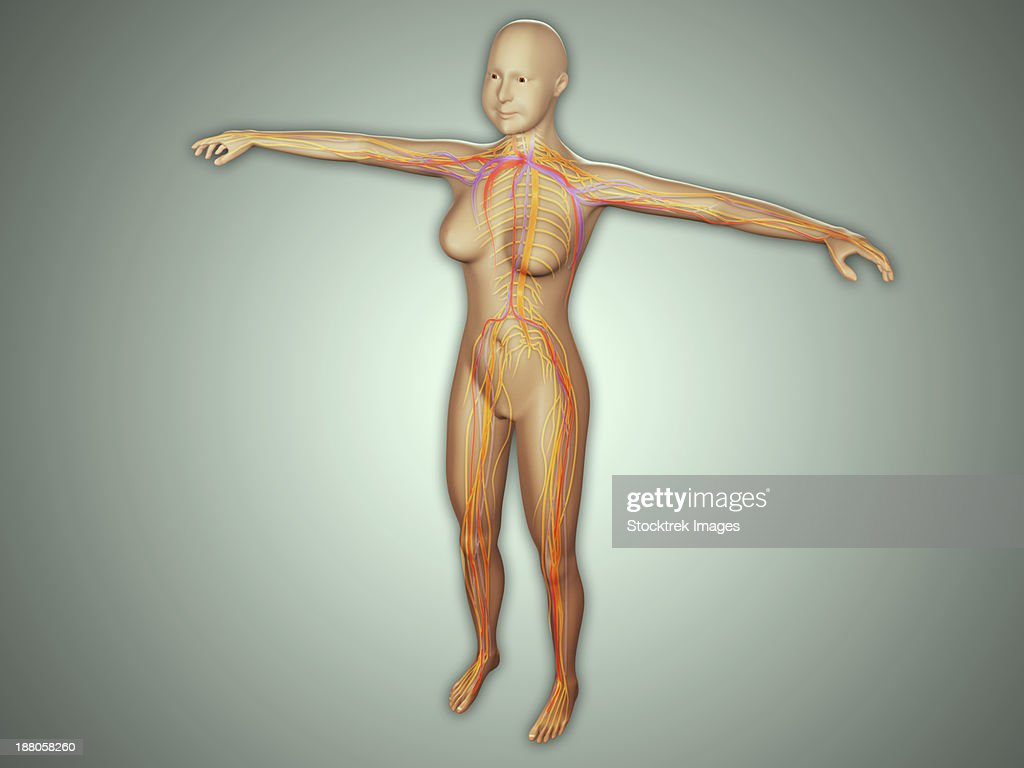Anatomy Of Female Body With Arteries Veins And Nervous System Stock ...
