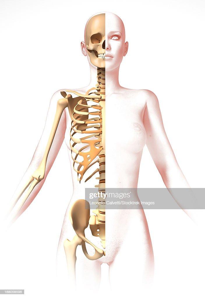 Anatomy Of Female Body With Skeleton Stylized Look Stock