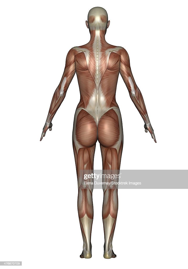 Anatomy Of Female Muscular System Back View Stock Illustration ...