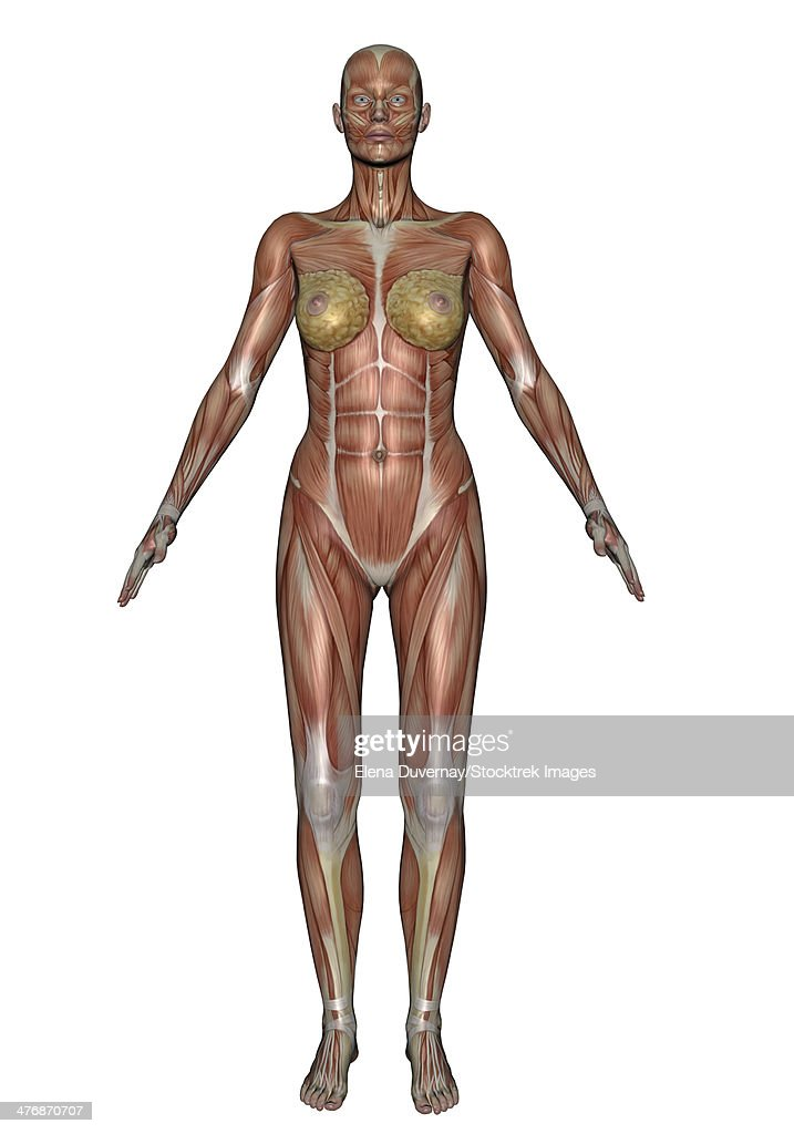 Anatomy Of Female Muscular System Front View Stock Illustration