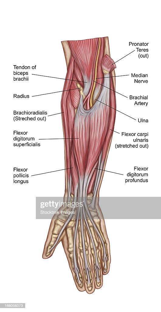 Anatomy Of Forearm Muscles Anterior View Middle Stock Illustration ...