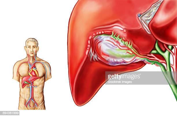 anatomy of gall bladder ganglion. - mucus stock illustrations, clip art, cartoons, & icons