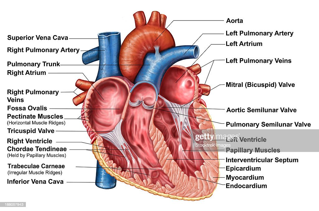 Anatomy Of Heart Interior Frontal Section Stock Illustration Getty