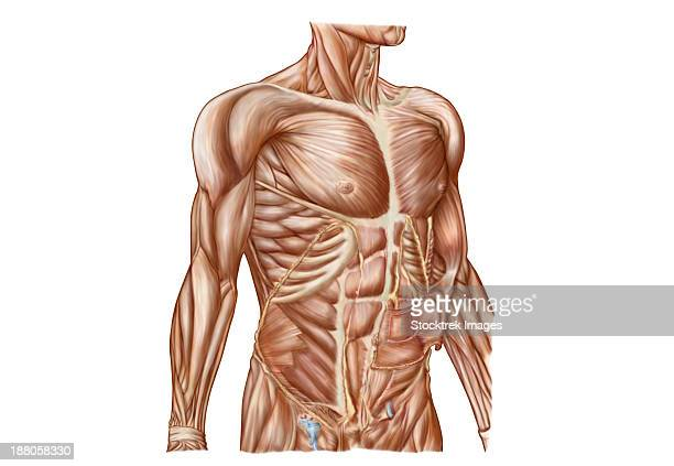 Anatomy of human abdominal muscles.