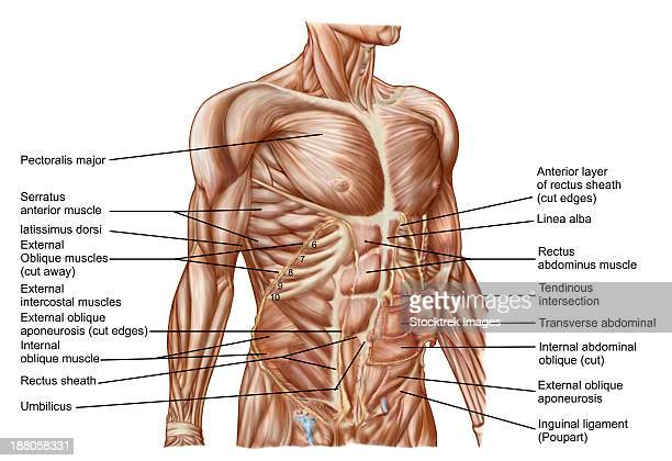 anatomy of human abdominal muscles. - abdominal muscle stock illustrations, clip art, cartoons, & icons