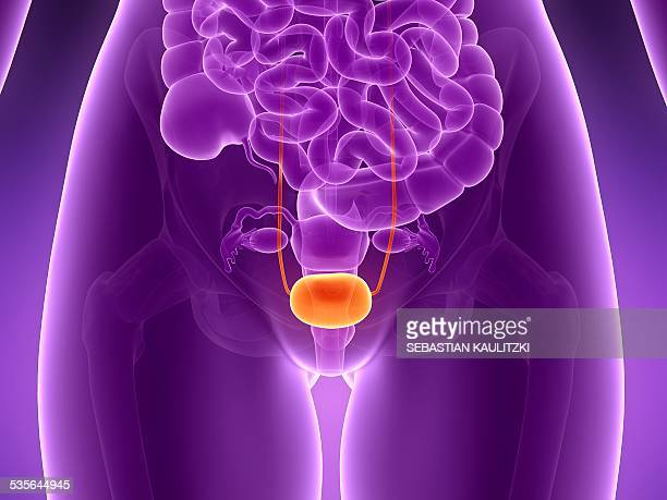 anatomy of human bladder, illustration - bladder stock illustrations, clip art, cartoons, & icons