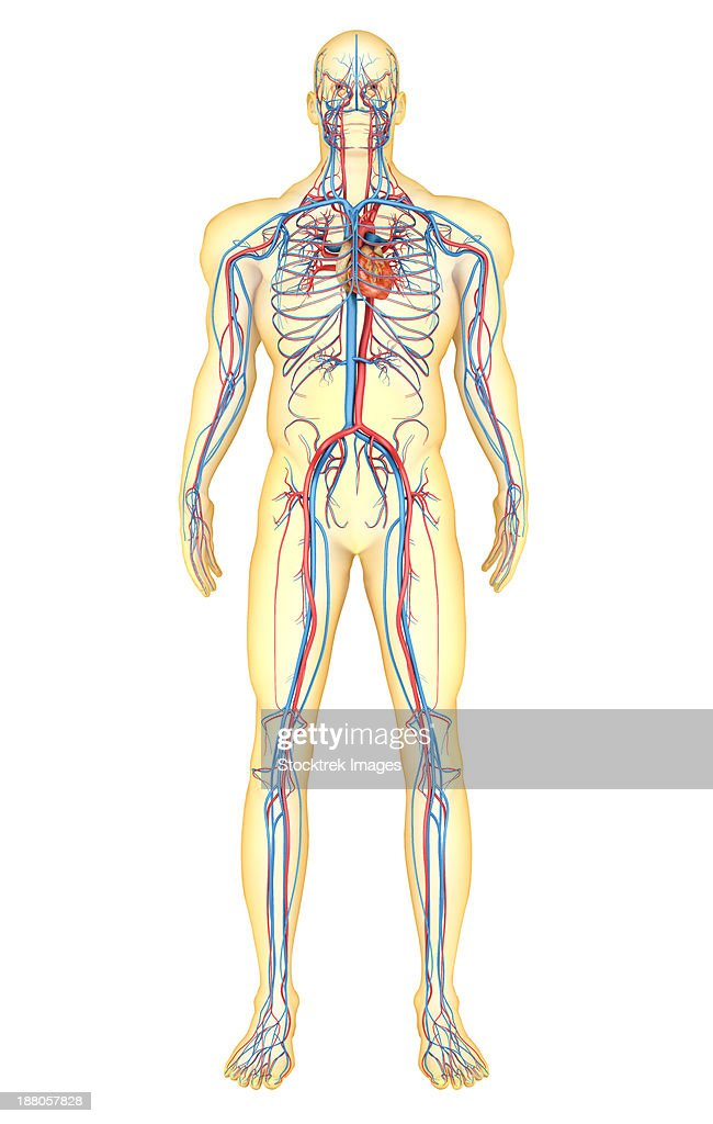 Anatomy Of Human Body And Circulatory System Front View Stock ...