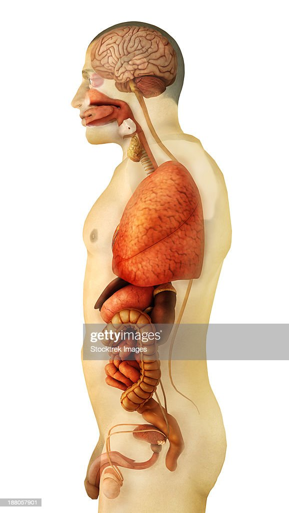 Anatomy Of Human Body Showing Whole Organs Side View Stock