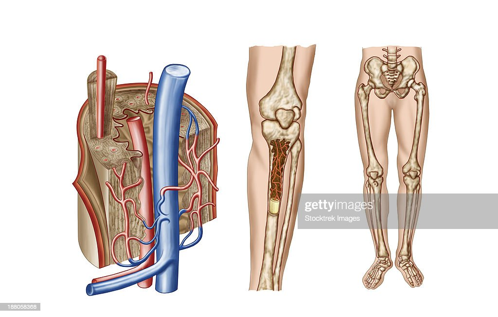 Anatomy of human bone marrow. : stock illustration