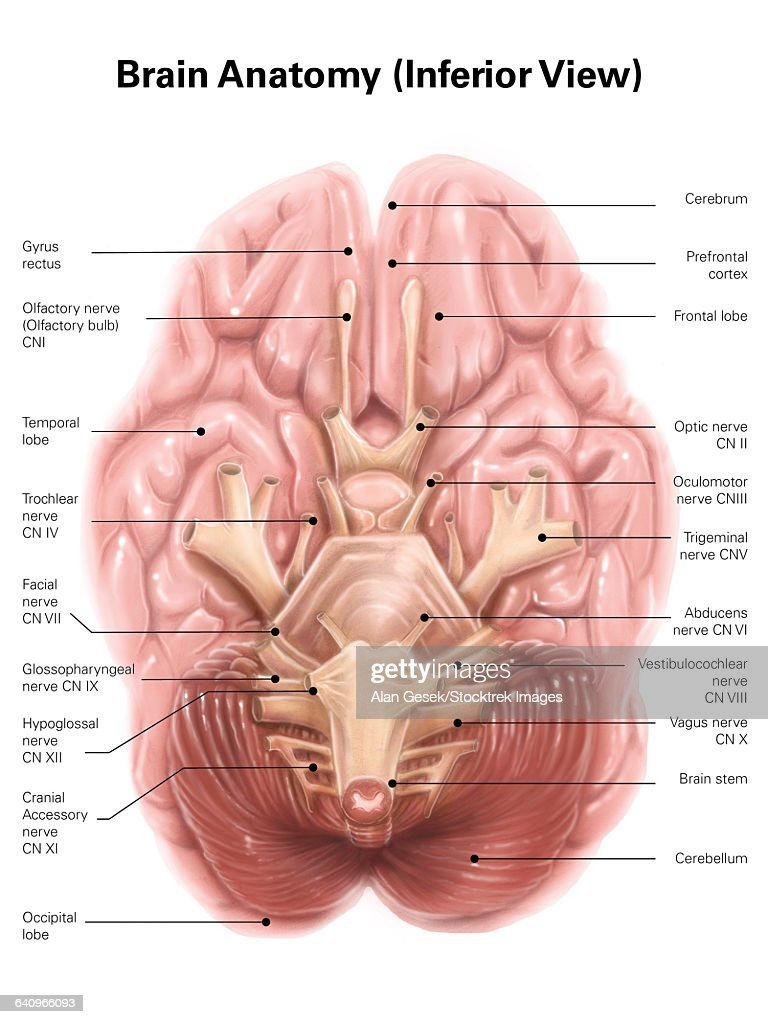 Inferior Brain Anatomy Diagram - DIY Enthusiasts Wiring Diagrams •