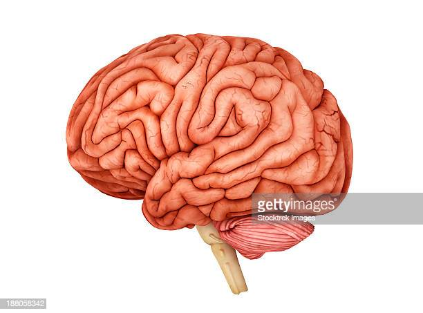 anatomy of human brain, side view. - temporal lobe stock illustrations, clip art, cartoons, & icons