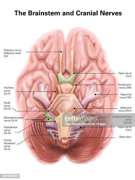 anatomy of human brain stem and cranial nerves. - temporal lobe stock illustrations, clip art, cartoons, & icons