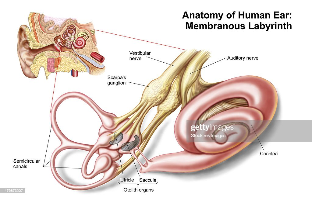 Anatomy Of Human Ear Membranous Labyrinth Stock Illustration | Getty ...