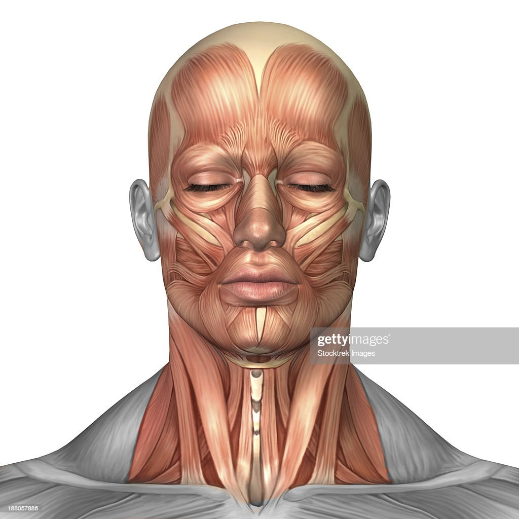 Anatomy Of Human Face And Neck Muscles Front View Stock Illustration ...