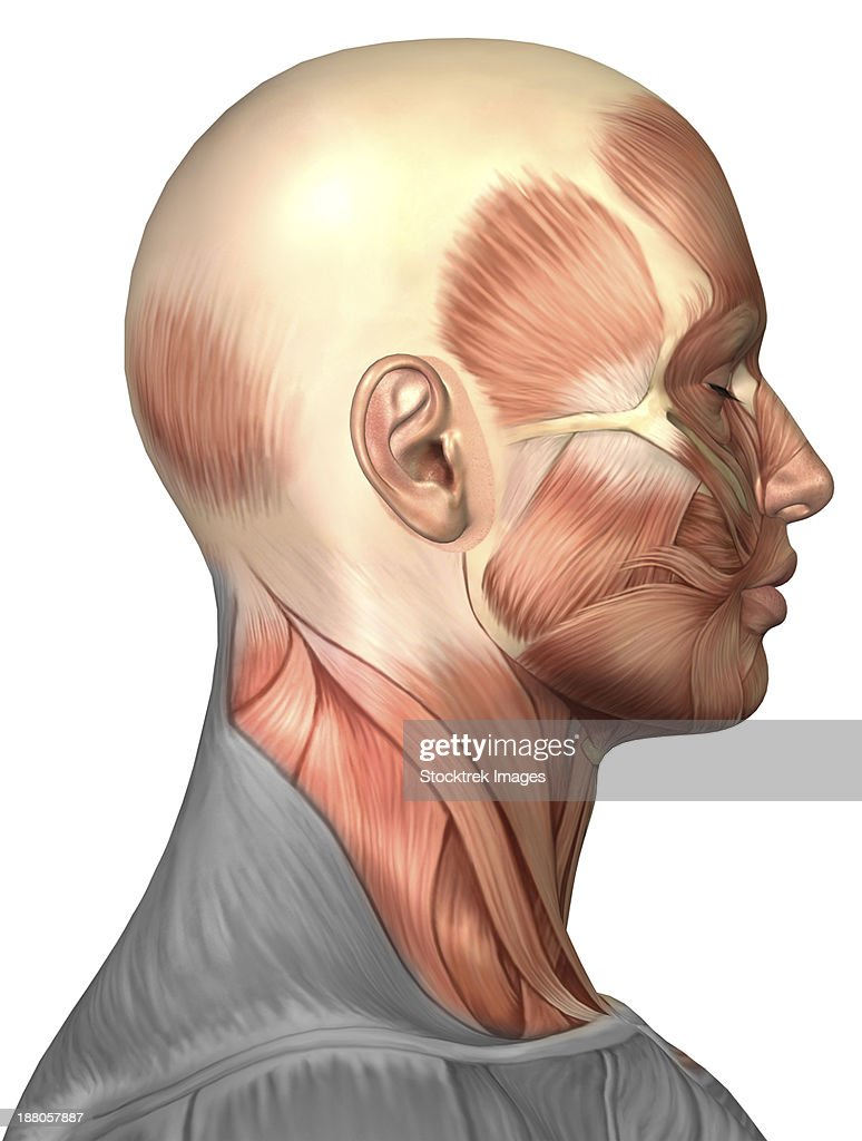 Anatomy Of Human Face Muscles Side View Stock Illustration   Getty ...