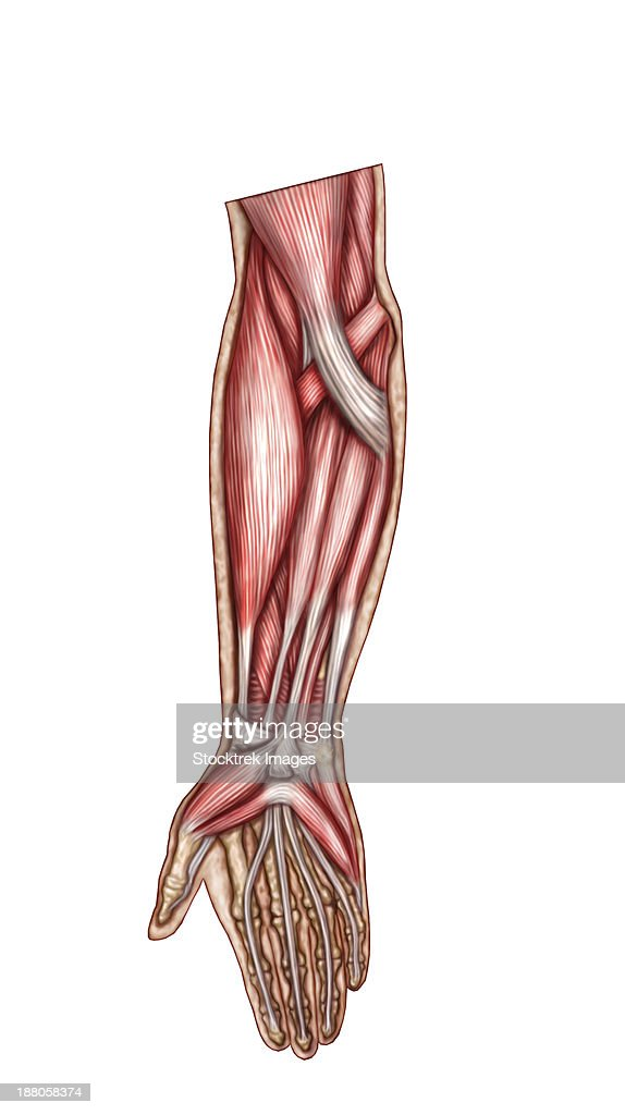 Anatomy Of Human Forearm Muscles Superficial Anterior View Stock ...