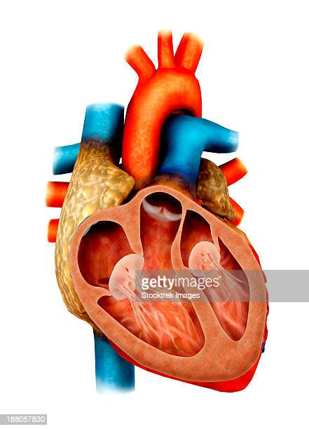 anatomy of human heart, cross section. - papillary muscle stock illustrations
