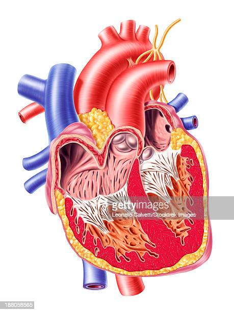 anatomy of human heart, cross section with detailed internal structure. - papillary muscle stock illustrations