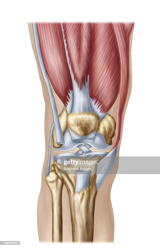 Meniscus Stock Illustrations And Cartoons   Getty Images