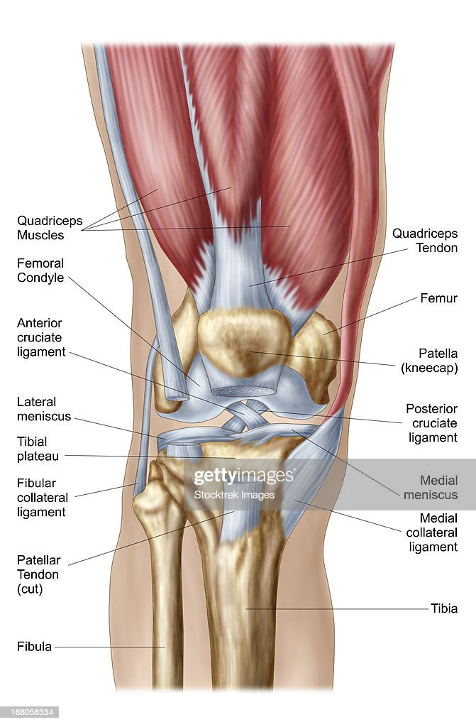 Anatomy Of Human Knee Joint Stock Illustration | Getty Images