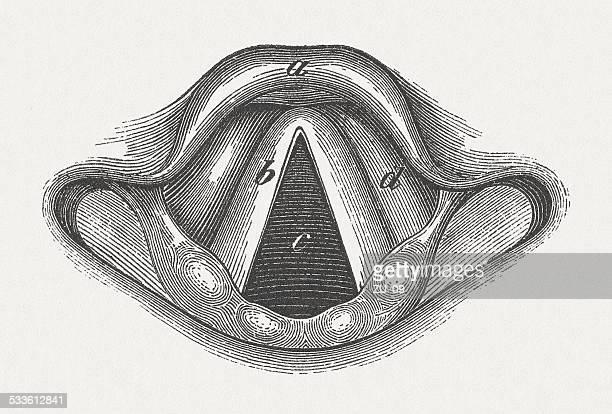 ilustraciones, imágenes clip art, dibujos animados e iconos de stock de laringe - cuerdas vocales