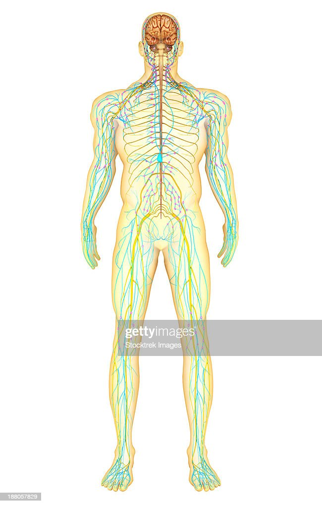 Autonomic Nervous System Stock Illustrations And Cartoons | Getty Images