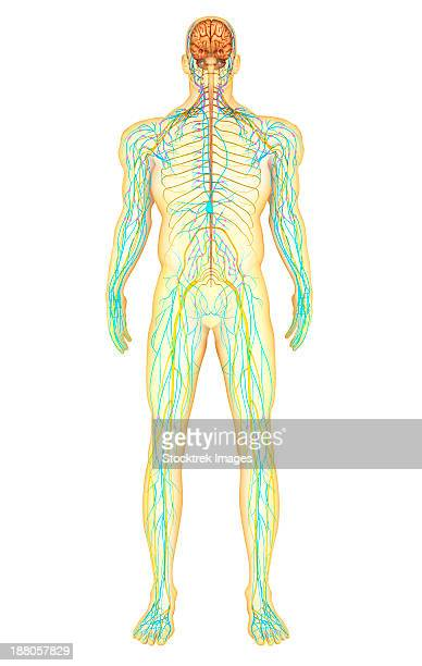 anatomy of human nervous system and lymphatic system, front view. - immunology stock illustrations, clip art, cartoons, & icons