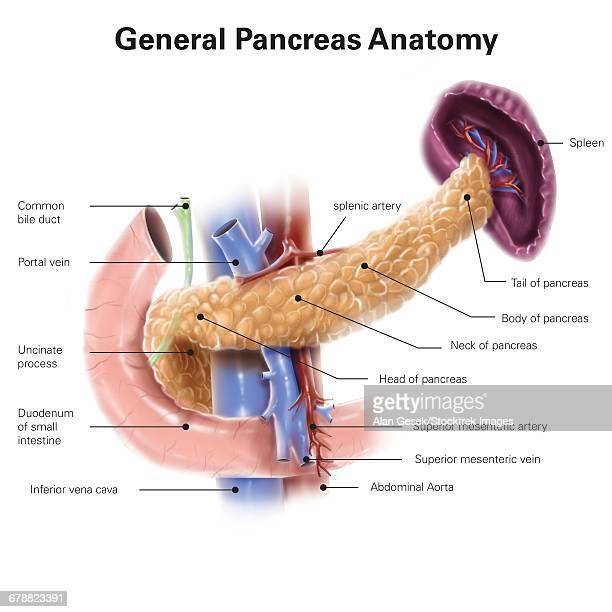 Anatomy of human pancreas, with labels.