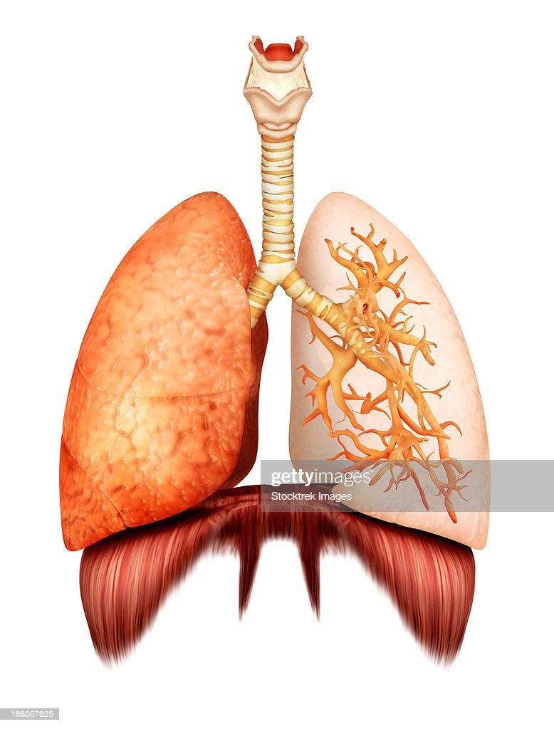 Anatomy Of Human Respiratory System Front View Stock Illustration ...