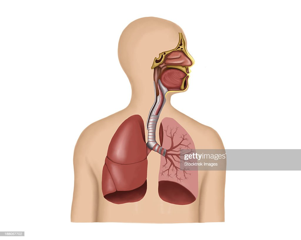 Anatomy Of Human Respiratory System Stock Illustration Getty Images