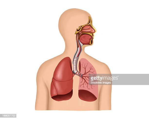 anatomy of human respiratory system. - respiratory system stock illustrations, clip art, cartoons, & icons