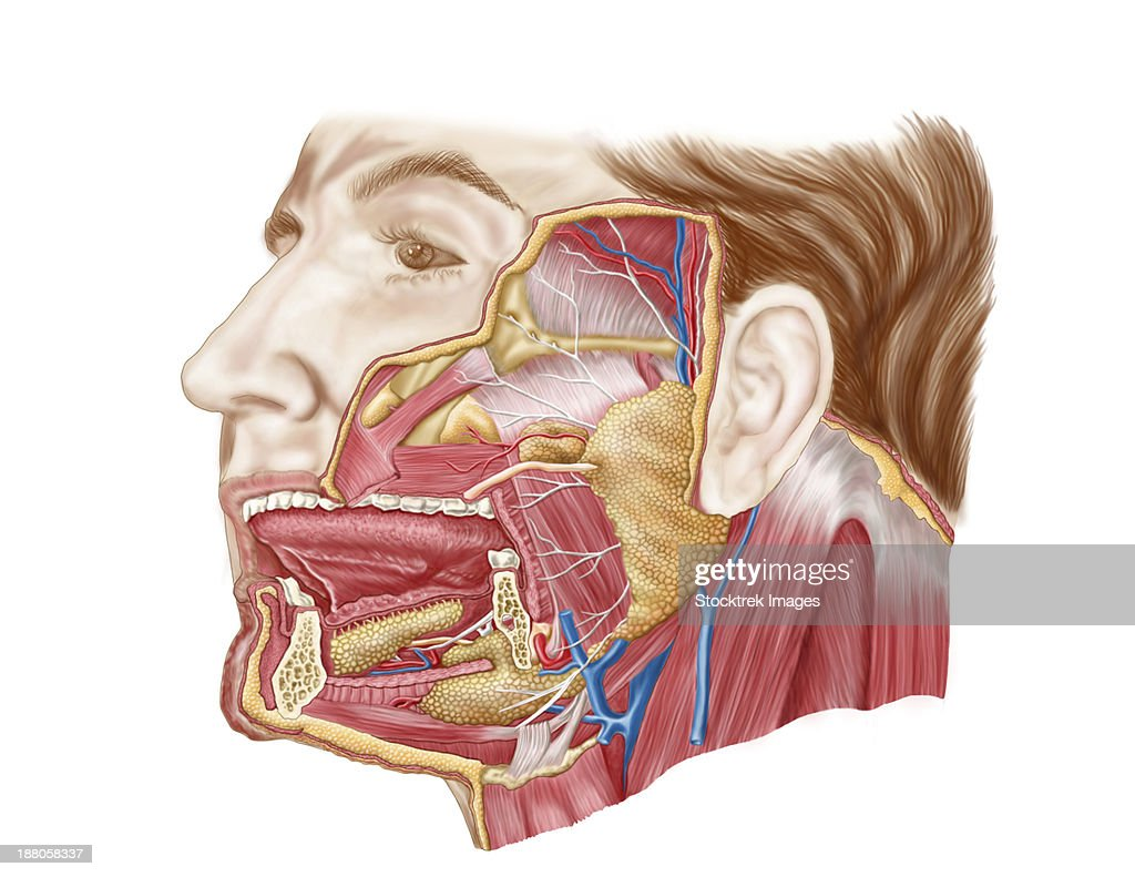 Anatomy Of Human Salivary Glands Stock Illustration | Getty Images