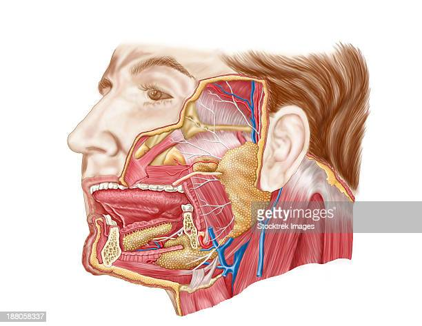 Salivary Gland Stock Illustrations And Cartoons | Getty Images