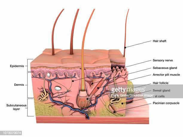 anatomy of human skin with labels. - stratum corneum stock illustrations