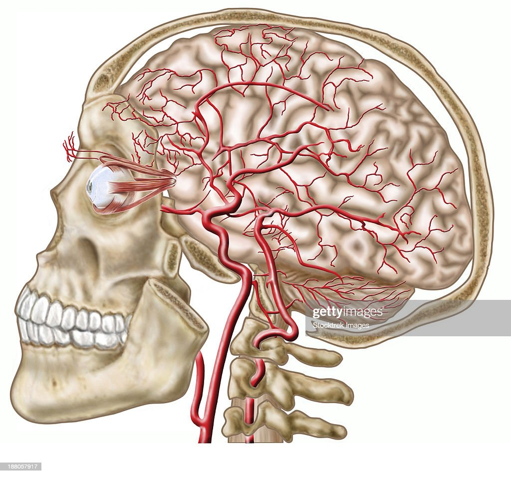 Anatomy Of Human Skull Eyeball And Arteries To Brain Stock