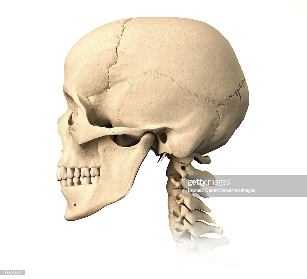 Anatomy Of Human Skull Side View Stock Illustration Getty Images