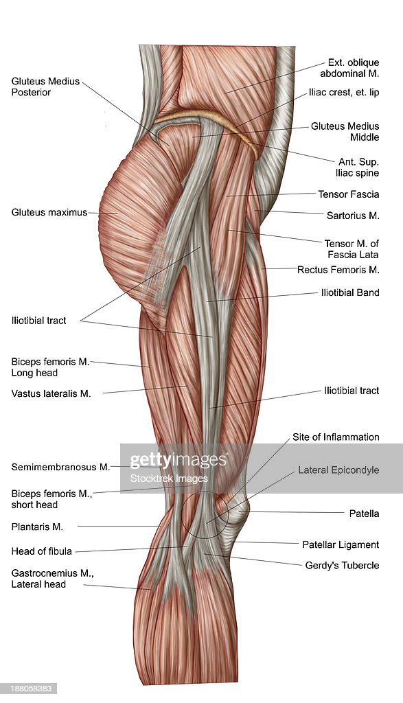 Anatomy Of Human Thigh Muscles Anterior View Stock Illustration ...