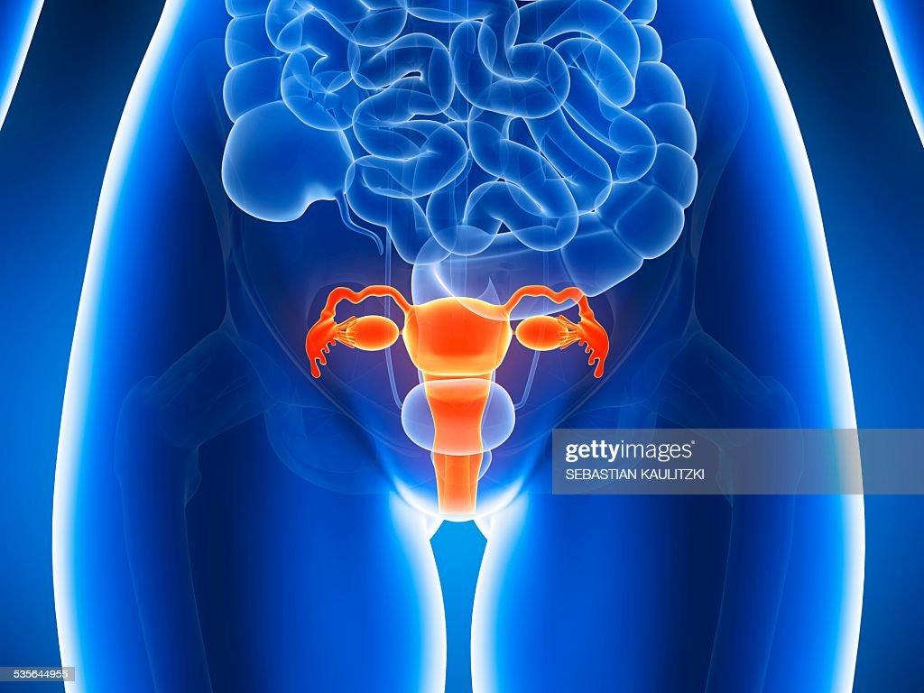 anatomy of human uterus illustration high