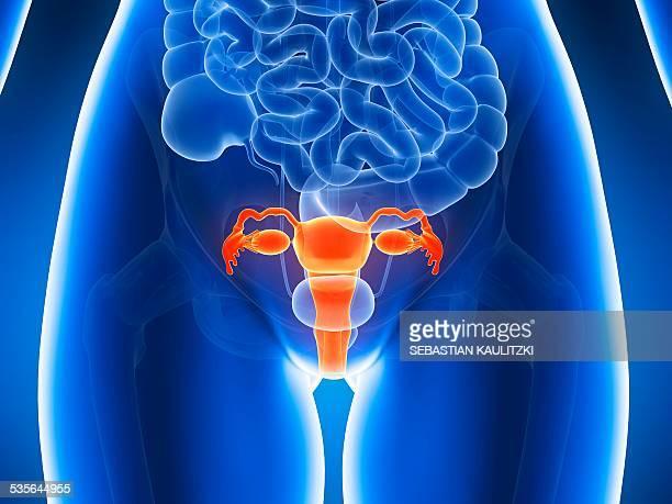 anatomy of human uterus, illustration - uterus stock illustrations