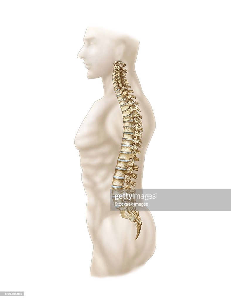 Anatomy Of Human Vertebral Column Left Lateral View Stock