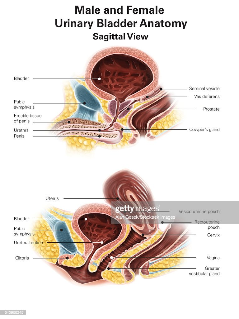 Anatomy Of Male And Female Urinary Bladder With Labels Stock