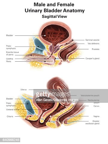 anatomy of male and female urinary bladder with labels stock illustration -  getty images