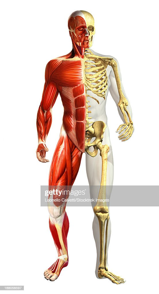 Anatomy Of Male Body With Half Skeleton And Half Muscular