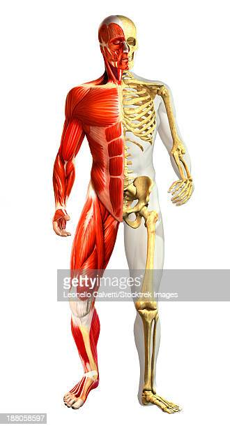 anatomy of male body with half skeleton and half muscular representations. - forearm stock illustrations, clip art, cartoons, & icons